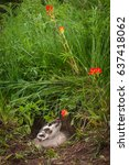 Small photo of North American Badger (Taxidea taxus) Sniffs at Flower - captive animal