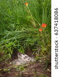 Small photo of North American Badger (Taxidea taxus) Looks Up in Den - captive animal