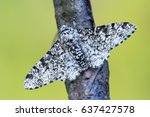 peppered moth   biston betularia | Shutterstock . vector #637427578