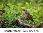 song thrush resting on a log in ... | Shutterstock . vector #637429576