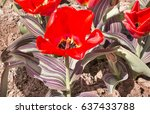 nature of latvia. the tulip is... | Shutterstock . vector #637433788