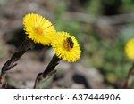 Macro Bee Pollinating Young...