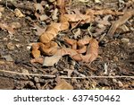Small photo of Two Osage Copperheads (Agkistrodon contortrix phaeogaster) together in Southwestern Missouri