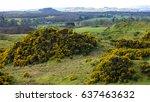 Yellow Gorse On A Scottish...
