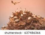 wild migrating gannets in... | Shutterstock . vector #637486366
