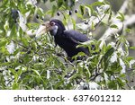 Small photo of Rufous-necked hornbill ,Aceros nipalensis( Adult female) already see her fruit on the big tree