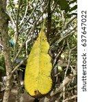 Close Up Leaf Of Plumeria Tree...