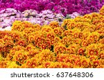 chrysanthemums daisy flower... | Shutterstock . vector #637648306