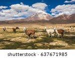 alpacas and sajama volcano ... | Shutterstock . vector #637671985