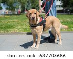 guide dog is helping a blind... | Shutterstock . vector #637703686