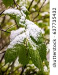snow on branch of blooming tree ... | Shutterstock . vector #637735432