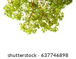 green tree branch isolated on... | Shutterstock . vector #637746898