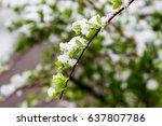 winter in spring  may 2017 ... | Shutterstock . vector #637807786
