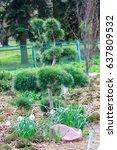 young pine bonsai growing in a...   Shutterstock . vector #637809532