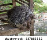 the north american porcupine ... | Shutterstock . vector #637885882