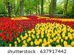yellow and red tulip field in... | Shutterstock . vector #637917442