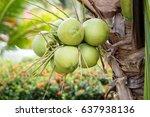 fresh coconut on the tree ... | Shutterstock . vector #637938136
