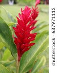 Small photo of Pink Ginger plant (Alpinia purpurata) with green leaves in Costa Rica