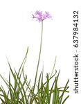 Small photo of Many leaves and a single stem with an umbel of purple flowers of society garlic or pink agapanthus (Tulbaghia violacea) isolated against a white background
