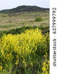 Small photo of Beautiful spring landscape in the mountains. Aurinia saxatilis. Basket of Gold flower. Golden Alyssum blossoms