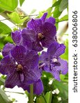Small photo of Flowering purple Vanda orchids.
