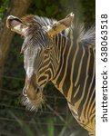 male zebra  | Shutterstock . vector #638063518