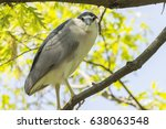 black crowned night heron | Shutterstock . vector #638063548