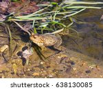 Common Or European Toad  Bufo...