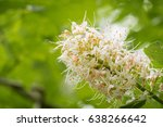 Small photo of Close up of California buckeye flowers (Aesculus californica)