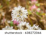 Small photo of Blow-wives (Achyrachaena mollis) blooming on the hills of south San Francisco bay, California