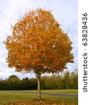 Small photo of Fall Sugar Maple Tree (Acer saccharum)