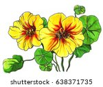 yellow nasturtium flower... | Shutterstock . vector #638371735