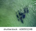 top view of bottlenose dolphins ... | Shutterstock . vector #638501248