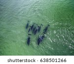 top view of bottlenose dolphins ... | Shutterstock . vector #638501266