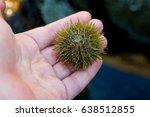 Green Sea Urchin In Person's...