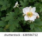 white anemone flower botanical... | Shutterstock . vector #638586712