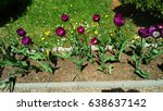 purple tulips in a garden   Shutterstock . vector #638637142