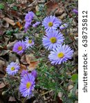 Small photo of Alpine aster violet flowers on the autumn leaves