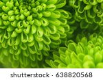 Green chrysanthemum close up....
