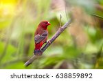 The Red Avadavat  Red Munia...