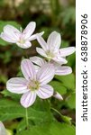 Small photo of Claytonia virginica close up