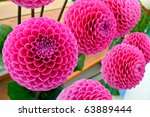 Large Lilac Pink Pompom Dahlia...