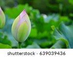 young lotus bud among green... | Shutterstock . vector #639039436