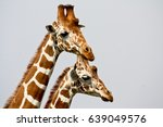portrait of two reticulated... | Shutterstock . vector #639049576