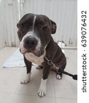 Small photo of American Pit Bull Terrier dog, Nice and friendly. He is waiting for grooming.