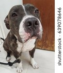 Small photo of Close up the face of American Pit bull Terrier