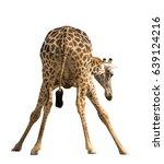 giraffe isolated on white... | Shutterstock . vector #639124216
