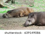 Tapirus Terrestris. Lowland...
