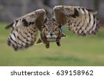 Great Horned Owl in flight. - stock photo