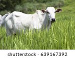 herd of nelore cattle grazing... | Shutterstock . vector #639167392